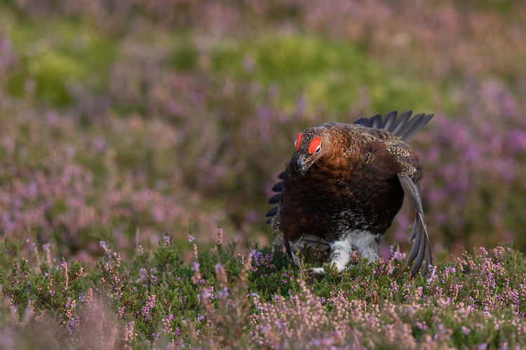 Red Grouse in autumn Red Grouse Lagopus Lagopus Scoticus Schottisches Moorschneehuhn Glorious Twelfth Of July Hathersage North Yorkshire Moors