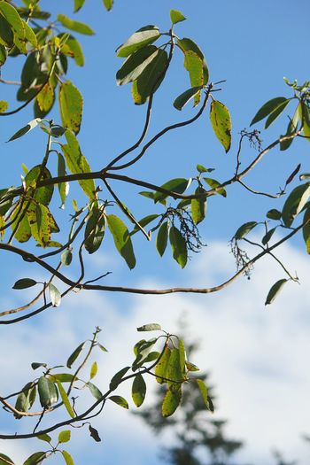 Clouds PNW Nature WoodLand Forest Peeling Bark Bark Branches Above Leaves Growth Whidbey Island Springtime Pacific Madrona Tree Tree Branch Leaf Blue Sky Close-up Plant Green Color Twig In Bloom Blooming Blossom Plant Life Growing Petal