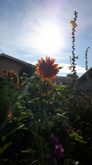 Sunshine And Summer Time Sunshine And Sunflowers Samsung Galaxy S5 Neo Spruce Grove, Alberta Sunshine No People Growing Plants Sunflower Flowers Beauty In Nature EyeEm Selects EyeEm Nature Lover Sunflower Photography