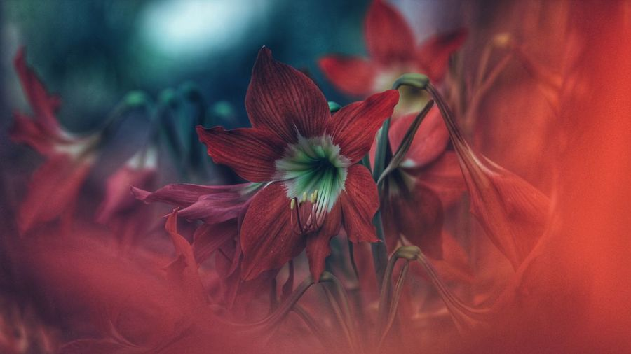 Flower Red Fragility Petal Nature Flower Head Plant No People Beauty In Nature Blossom Close-up Freshness Outdoors Day EyeEmNewHere