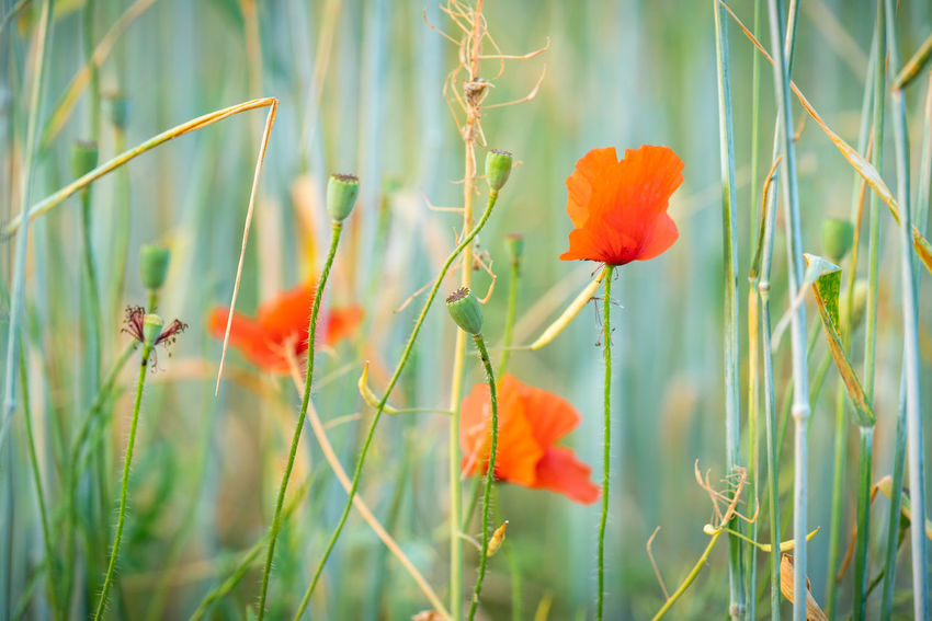 Mohn am Feldrand Beauty In Nature Close-up Field Flower Flower Head Flowering Plant Fragility Freshness Green Color Growth Inflorescence Land Nature No People Orange Outdoors Plant Plant Stem Poppy Red Vulnerability