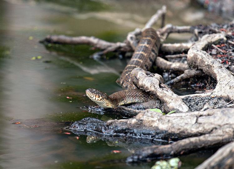 Snake Animal Animal Themes Animal Wildlife Animals In The Wild Close-up Crocodile Day Iguana Lake Lizard Nature No People One Animal Outdoors Reptile Selective Focus Vertebrate Water