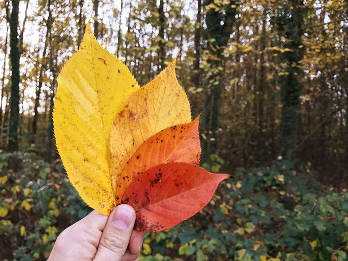 Hand Autumn Leaves Holding Real People Human Hand One Person Focus On Foreground Leaf Close-up Tree Autumn Change Outdoors Day Nature Human Body Part