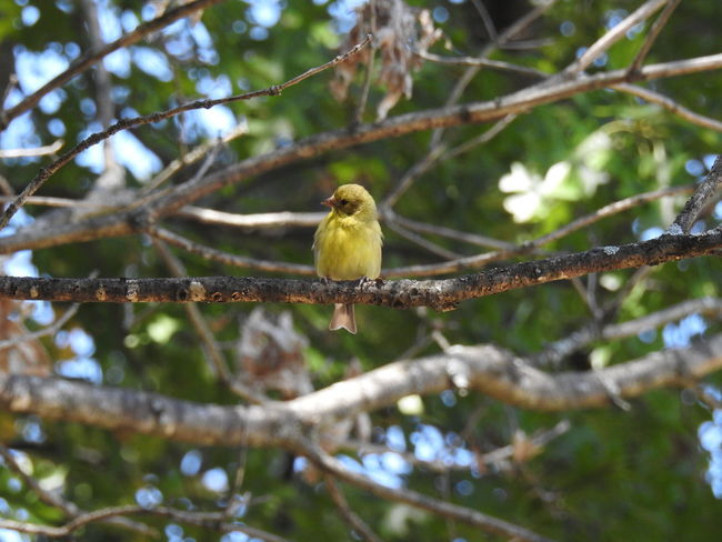 American Goldfinch Bird Photography Bird Photograpy Birdwatching Wildlife & Nature Yellow Bird Animal Themes Animals In The Wild Bird Bird Collection Birds Branch Day Female Female Bird Goldfinch Green Bird Little Bird Nature No People One Animal Outdoors Perching Song Bird Tree