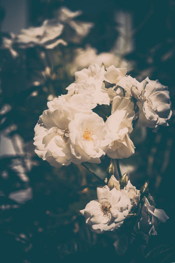 Weiße Rosen White Roses Beauty In Nature Bouquet Close-up Day Flower Flower Arrangement Flower Head Flowering Plant Focus On Foreground Fragility Freshness Growth Inflorescence Nature No People Outdoors Petal Plant Pollen Rosé Rose - Flower Roses Vulnerability  White Color