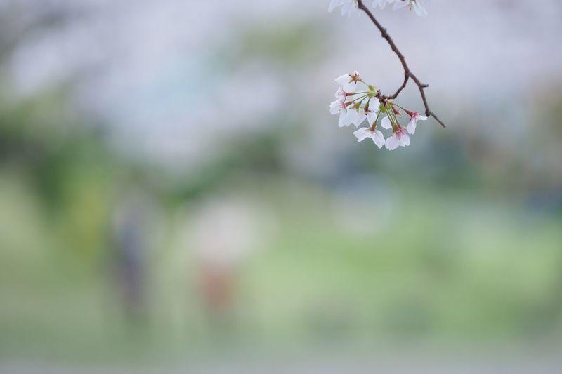 ひとつ消える。 Flower Nature Fragility Beauty In Nature Growth Close-up Outdoors Insect Day Freshness Flower Head Cherry Blossoms Cherry Tree EyeEm Nature Lover EyeEm Best Shots EyeEmNewHere ソメイヨシノ 桜 Olympus OM-D EM-1 ひとつ重なる。