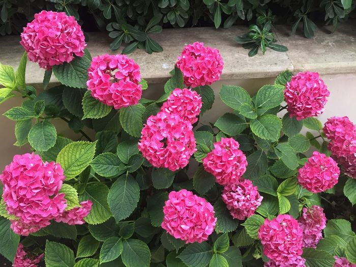 Pink Color Hydrangea Growth Pink Color Plant High Angle View Beauty In Nature Flowering Plant Day Flower Flower Head EyeEmNewHere