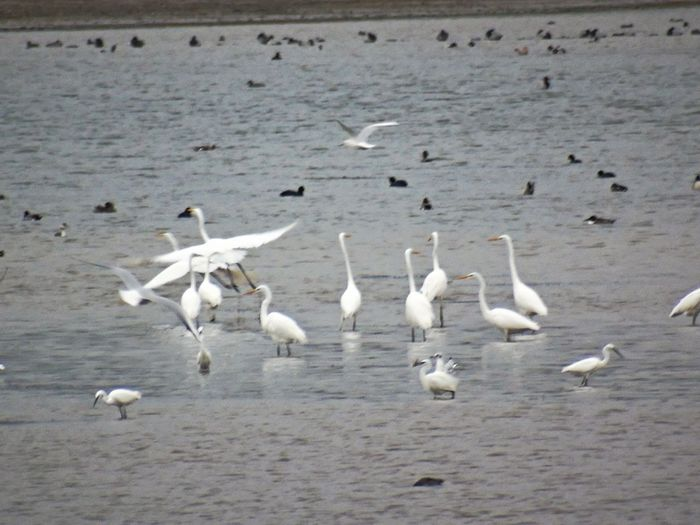 Bird Animal Themes Animals In The Wild Nature Large Group Of Animals Flying Animal Wildlife Flock Of Birds Water Long Distance Shot Great Egrets Chewvalleylake Nature On Your Doorstep