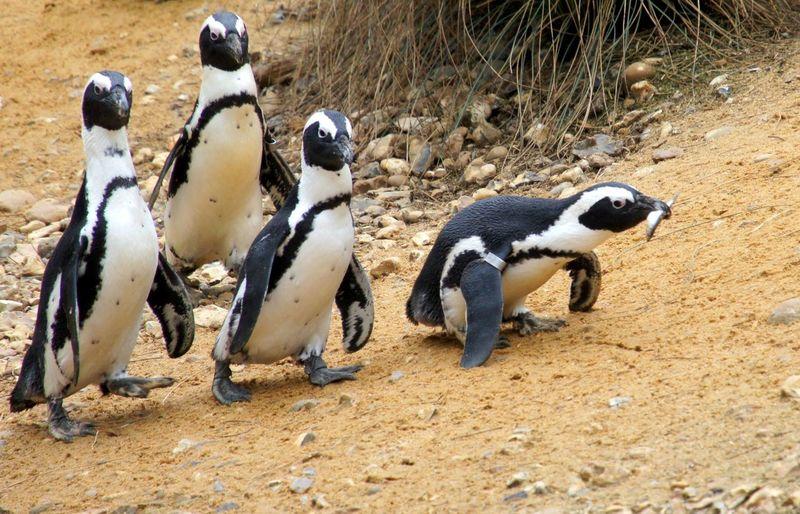 Jackass penguins walking on beach