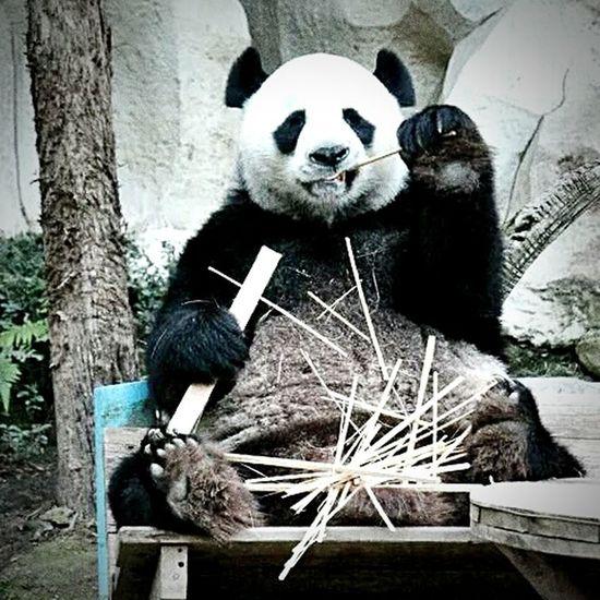 Toothpick 🐼 Panda Pandashots Panda Bear Toothpick Pandas Pandas♥ PANDA ♡♡ Pandaparty