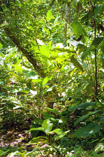 Lush tropical rainforest in Costa Rica (Osa Peninsula, Corcovado national park). Costa Rica Green Color Banana Tree Corcovado National Park Day Food Freshness Fruit Green Color Growth Leaf Nature No People Outdoors Plant Rainforest Sunlight Tree