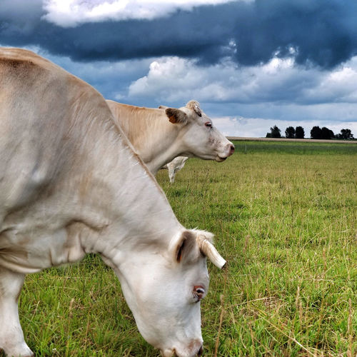 Cows grazing on grassy field against cloudy sky