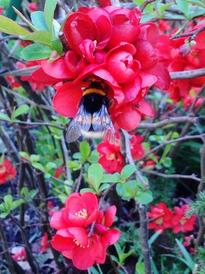 Bumblebee in the flowers Bumblebee Flowers Nature Insect_perfection EyeEm Nature Lover Flower Garden Beautiful Spring Flowers And Insects