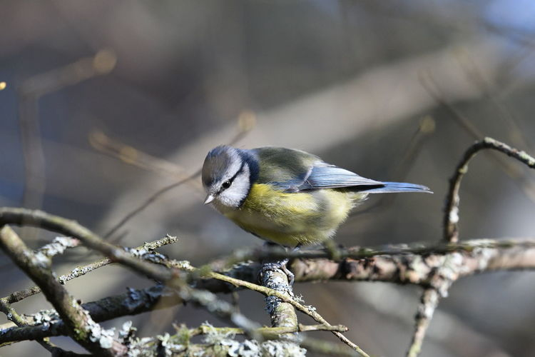 Close-up of a blue tit perching on branch