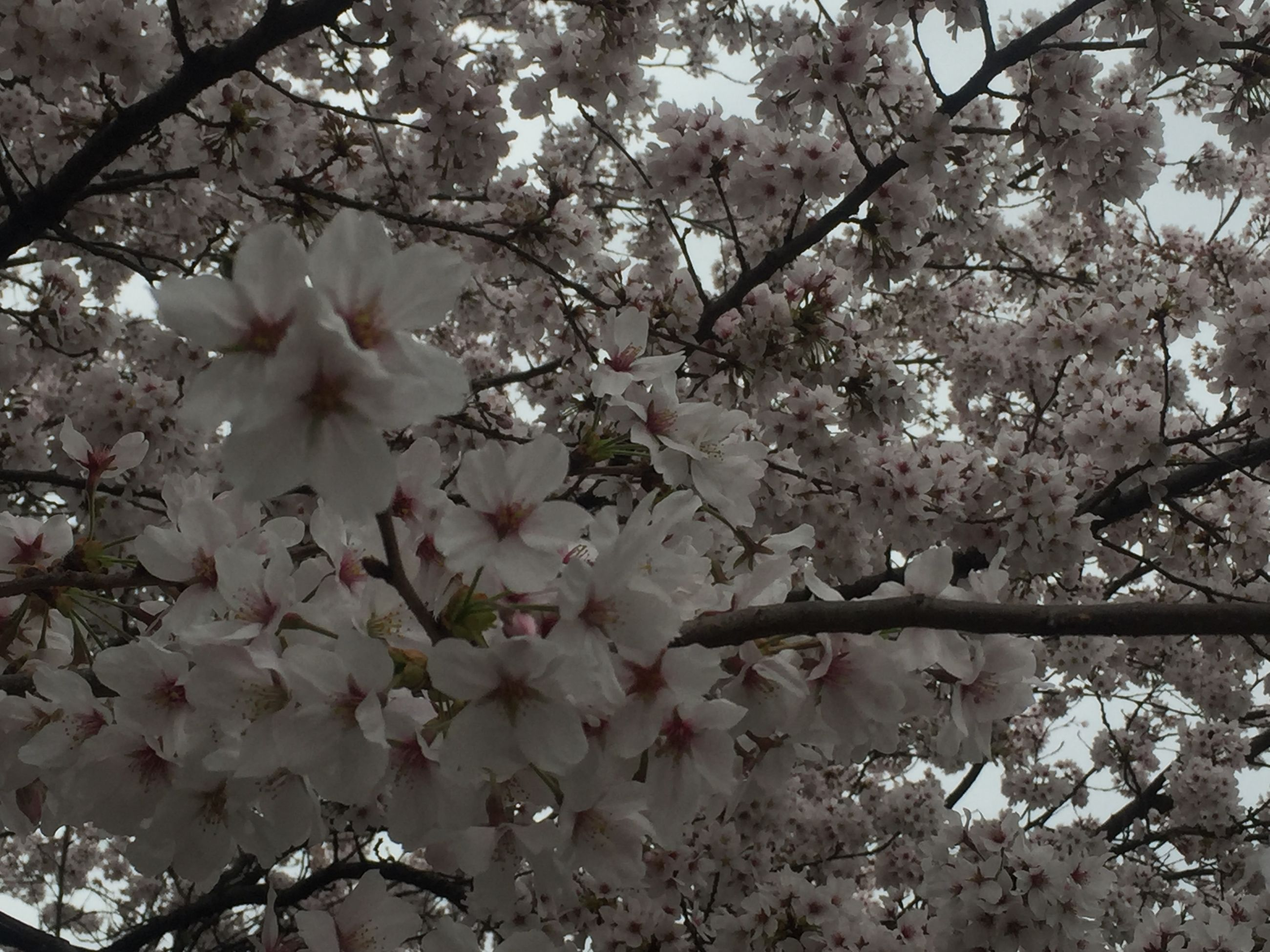flower, tree, branch, freshness, cherry blossom, growth, fragility, blossom, cherry tree, beauty in nature, low angle view, nature, pink color, in bloom, petal, springtime, blooming, white color, fruit tree, day