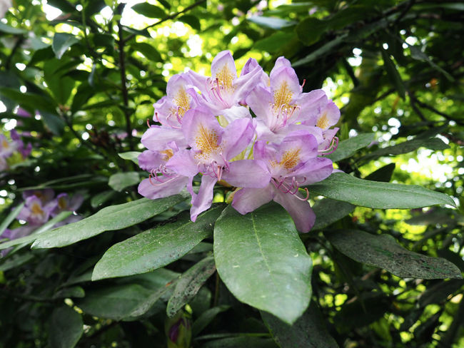 Purple flowers Nature Azalea Beauty In Nature Blossom Day Flower Flower Head Flowering Plant Fragility Freshness Growth Inflorescence Leaf Leaves Lilac Nature No People Petal Pink Color Plant Plant Part Purple Spring Springtime Vulnerability