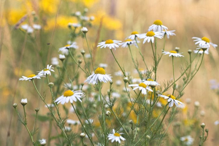 Flower Flowering Plant Plant Growth Fragility Vulnerability  Beauty In Nature Freshness Yellow Field Land Close-up Petal Nature Flower Head Focus On Foreground Selective Focus Flower Collection Flowers, Nature And Beauty Flower Photography Beautiful Beautiful Nature Natural Beauty Bokeh Meadow Flowers Meadow Lovely Nature_collection Nature Photography Naturelovers EyeEm Nature Lover EyeEm Gallery Eye4photography