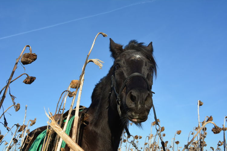 Low Angle View Of Horse Amidst Dried Sunflowers Against Clear Sky