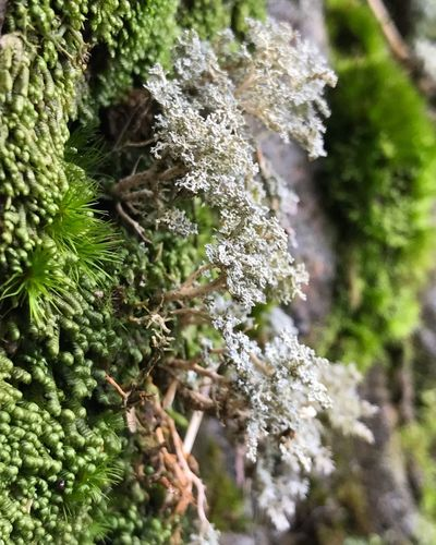 Close-up of lichen on moss