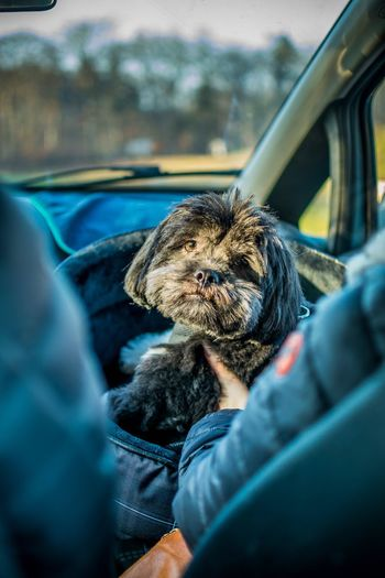 One Animal Pets Animal Themes Domestic Animals Dog Mammal Car One Person Vehicle Interior Real People Transportation Sitting Day Land Vehicle Car Interior Human Hand Human Body Part Close-up Outdoors Shih Tzu