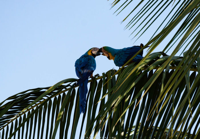 Birds Blue Arara Blue Bird Clear Sky Day Love Birds Low Angle View Nature