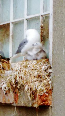 Kittiwake with chick. Scarborough. June 2017. Animal Themes Day Outdoors Close-up Bird Kittiwake Kittiwake Avian Seabird Kittiwakes Nests Nesting Nesting Birds Nesting Place Nesting, Mother, Life, Nature, Photography Bird Photography Birds_collection Birds🐦⛅ Birds Wildlife Birds Of EyeEm  Birds Nest Birdwatching Nature Sitting Seabirds Seabird Mother And Young
