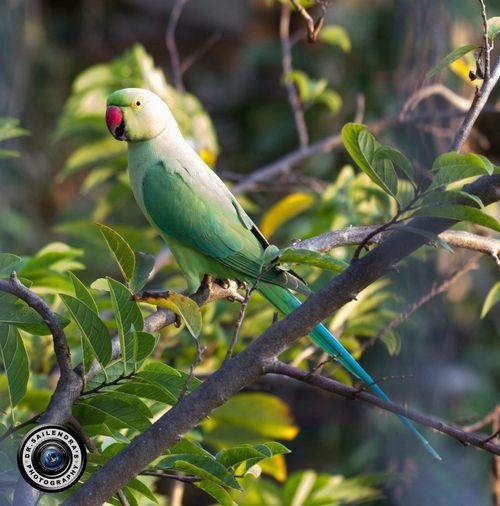 Parakeet Animal