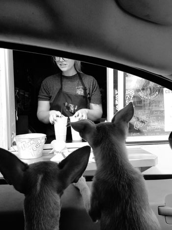 Drive Through Coffee In The Car Dogs Real People One Person Lifestyles One Animal Indoors  Leisure Activity Mammal Pets