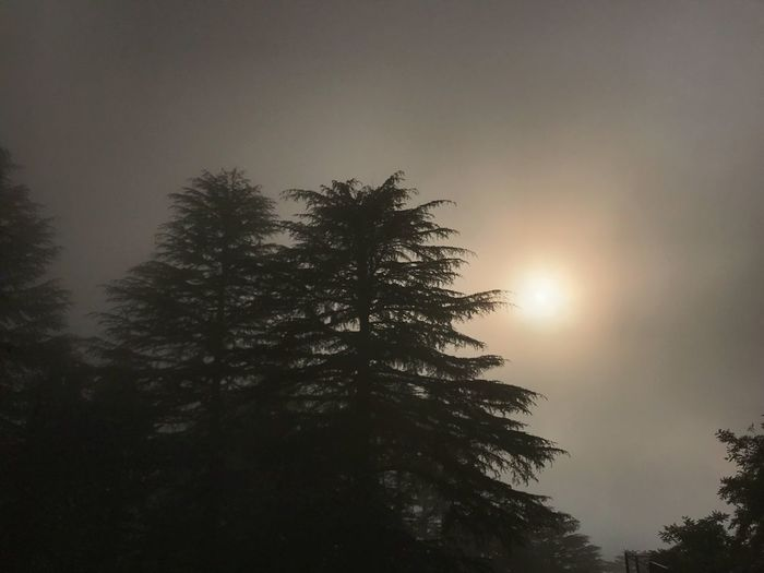 Foggy Morning Tree In Fog Foggy Landscape Foggy Tree Plant Sky Tranquility Beauty In Nature Scenics - Nature Tranquil Scene Sunlight Pine Tree Silhouette Treetop Sun Sunset Outdoors