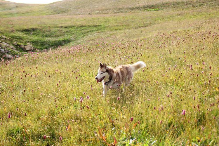 Pets Dog Wolf