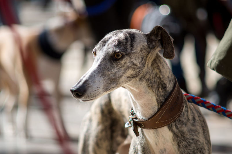 Animal Animal Head  Animal Themes Day Dog Galgo Galgo Español. Grey Portrait Spanish Galgo