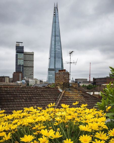 Sunshine yellow flowers, the Shard and s tiny St Paul's Yellow Yellow Flower Urban Urbanphotography Flowers Flower London LONDON❤ City City Life View City View  Shard View From The Balcony