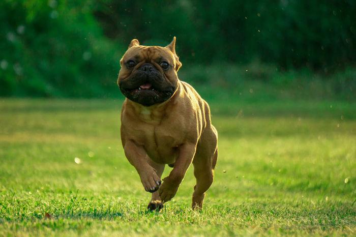 Französische Bulldogge  Hundefotografie Tierfotografie Dogs Of EyeEm EyeEm Selects Hundeportrait EyEmselect Hunde Düsseldorf Butsosexy Dogs Dogs Life Twerk #hundefoto Pets Dog Animal Themes Grass Green Color