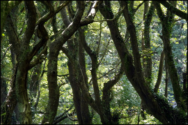 Cornwall Enchanted  Forest Green Mysterious Nature Rame Peninsula Trees