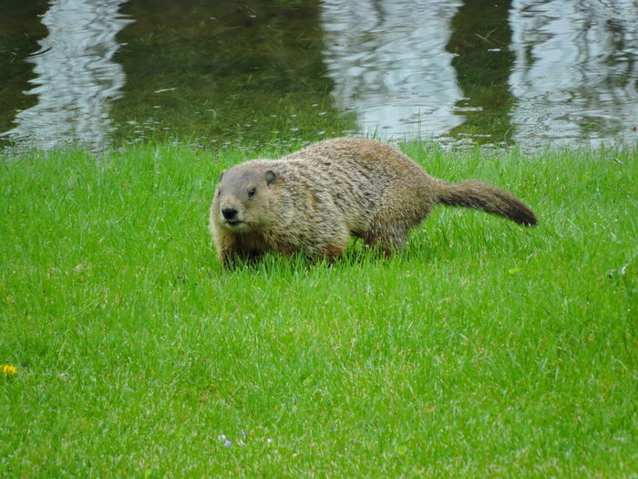 Groundhogs Animal Animal Themes Animals In The Wild One Animal Animal Wildlife Mammal Vertebrate Grass Plant Nature Green Color Water Bear No People Day Outdoors Lake Land