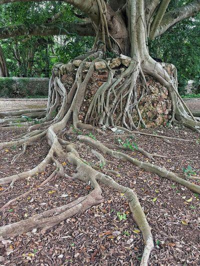 Root Tree Tree