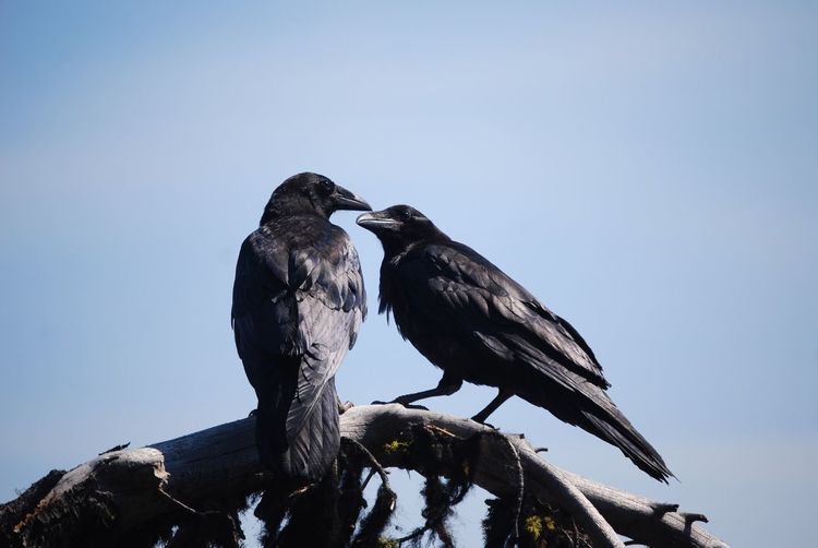 Caw caw! *insert raven emoji here* Bird Animals In The Wild Animal Themes Perching Animal Wildlife Raven - Bird Day Nature No People Clear Sky Low Angle View Outdoors Sky Raven On Tree Ravens On Branch Raven Ravens Perching Two Ravens Two Birds Two Birds In Love at Crater Lake National Park , Oregon