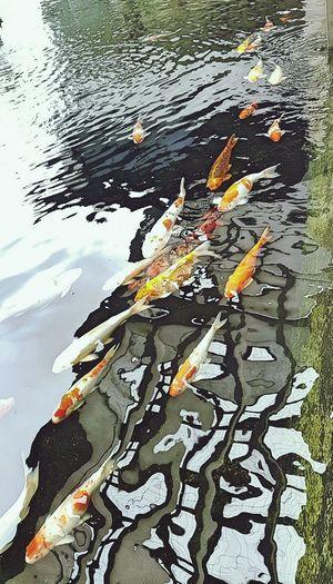 Koi parade Water Day Fish Reflection