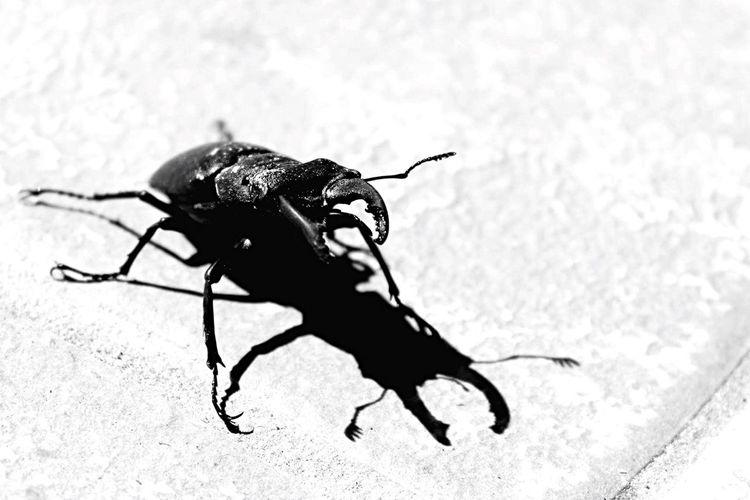 Beetle Scarabé Blackandwhite Noir Et Blanc Blancoynegro Canonphotography Canon1200d