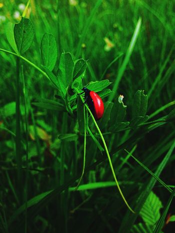 The beauty in small things🐞🐞🐞 FreeTime Different Perspective Different Freshness MyPhotography IPhone5 Grass 57/100happydays Spring Nature Redbug Bug Animal Happy Green World Nature Photography Naturelovers Natural Beauty EyeEm Nature Lover Beautyineverything Myhobby
