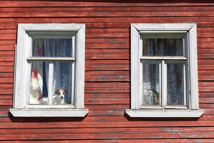 Dog jack russell terrier sits on the window of an old house and looks out into the street