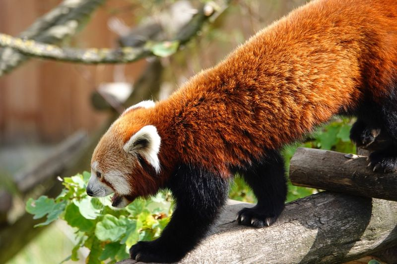 Red Panda Lesser Panda Panda - Animal Ailurus Fulgens One Animal Animal Animal Wildlife Animal Themes Animals In The Wild Nature No People Focus On Foreground Mammal Brown Vertebrate Close-up Outdoors Sunlight Invertebrate