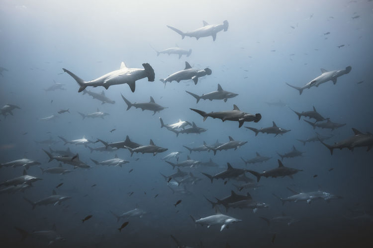 Animal Animal Themes Vertebrate Group Of Animals Animal Wildlife Animals In The Wild Large Group Of Animals Fish Swimming Water Underwater Sea School Of Fish Marine Sea Life UnderSea Shark Nature No People Underwater Diving