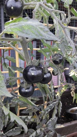 Schwarze Tomaten Tomatenpflanze Hanging Close-up