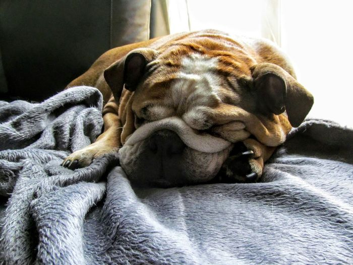 Sleeping Bulldog Bulldog Dog DogLove Dogslife EnglishBulldog Dogs Of EyeEm English Bulldog Resting Sleeping Sleep
