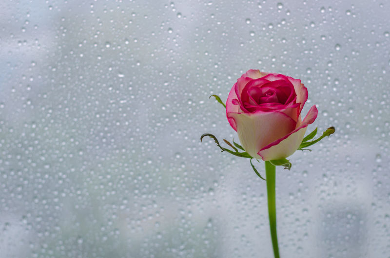 Close-up of rose with water drops
