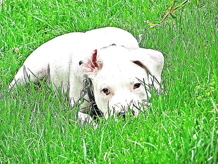 Dogo Argentina Dogo Argentino Dog Love Gerçek Dost
