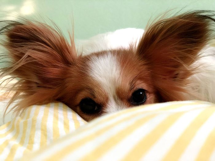 Papillon Dog Mammal Lying Down Bed No People Indoors  First Eyeem Photo