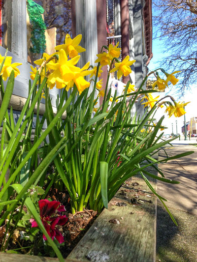 Beauty In Nature Blooming Blossom Botany Close-up Daffodils Day Flower Flower Box Flower Head Fragility Freshness Green Color Growing Growth In Bloom Leaf Nature No People Outdoors Petal Plant Port Townsend Stem Yellow