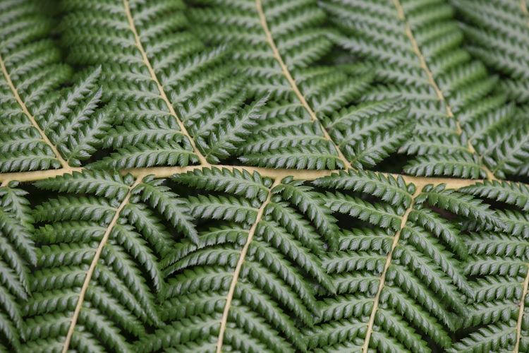 Fern leaf pattern Abstract Macro Green Color Plant Leaf No People Nature Day Pine Tree Full Frame Close-up Beauty In Nature Fern Pinaceae Growth Branch Plant Part Freshness